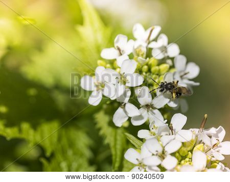 White Phlox Flowers with Bee Insect and Sunlight. Dames Rocket Wildflowers.