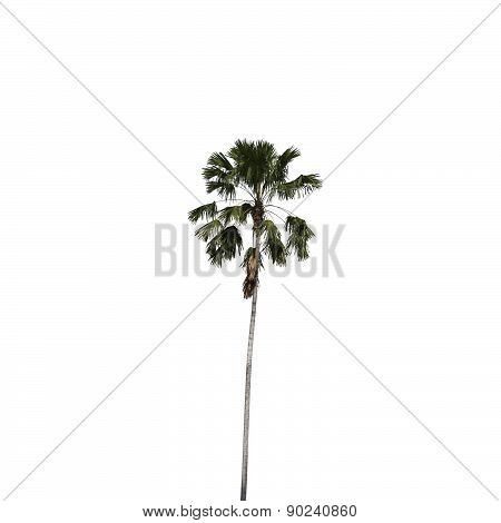 Betel Palm Isolated