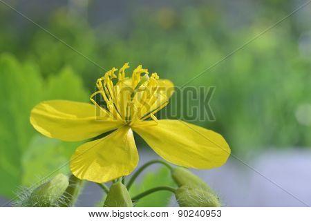 Flowering Celandine