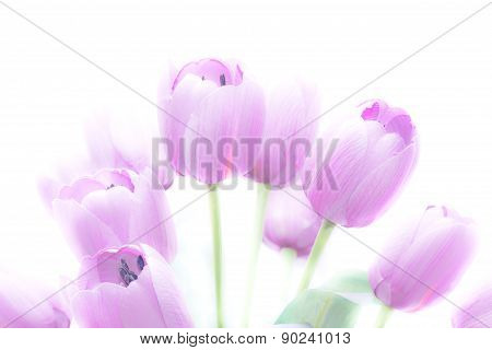 Tulip Flowers High Key Abstract And Soft Color