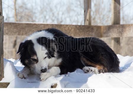 Dog With Ice In His Paw