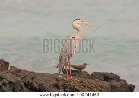 Great Blue Heron On A Remote Island