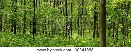 Panoramic view of deep wood forest in spring time