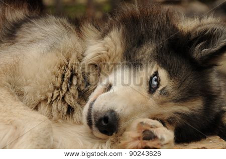 Blue-eyed sled dog.