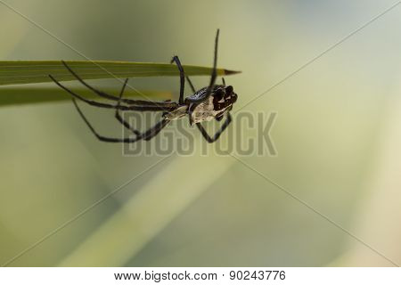 Silver Backed Spider