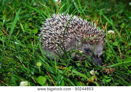 Little Hedgehog In The Green Grass