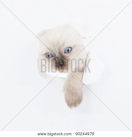 Kitten Looking Up In Paper