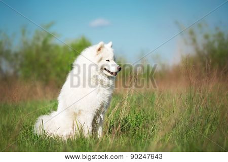Samoyed dog sitting on a background of green grass and blue sky.
