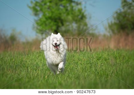 Samoyed dog running in the background of green grass and blue sky