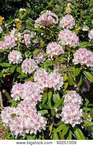 Pink Rhododendron.