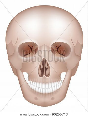 Human Skull Detailed Anatomy