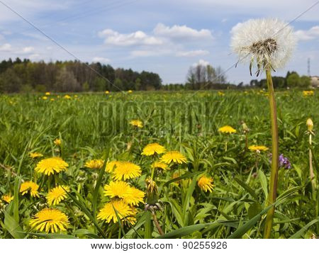 Meadow In May Full Flowering Yellow Dandelions