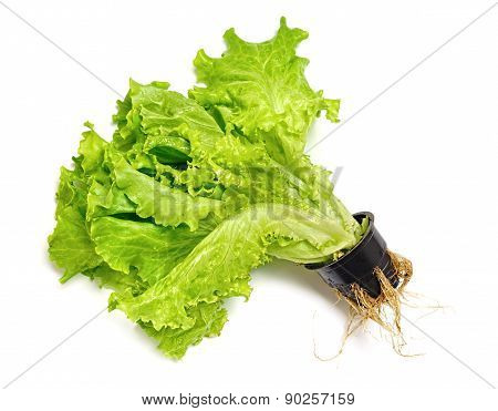 Lettuce In A Pot