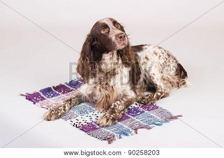 Russian Spaniel Dog