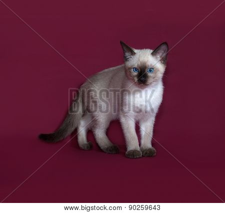 Thai White Kitten Standing On Burgundy