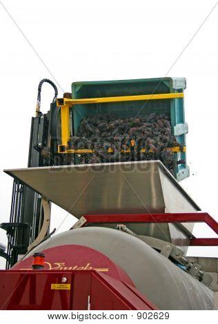 Grapes Dumped Into Hopper
