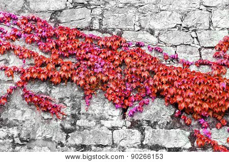 Red Ivy On Ancient Castle Wall