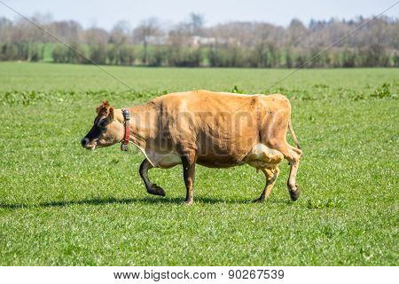 Jersey Cow On Green Grass