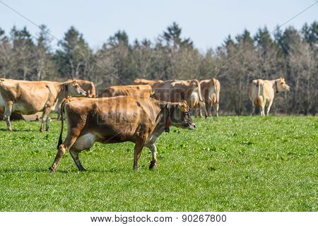 Jersey Cattle On Grass In The Springtime