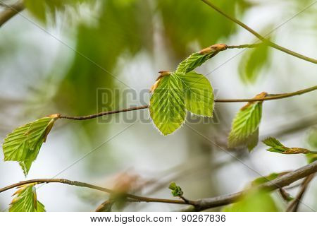 Beech Leaves In The Spring