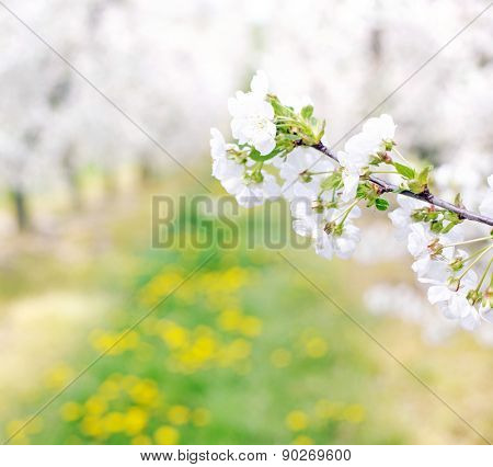Flowers in apple-tree orchard
