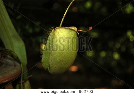 Pitcher Plant Borneo