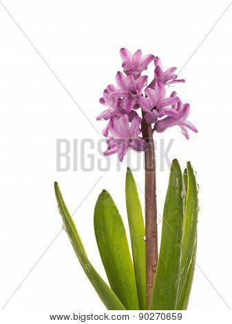 Gentle Hyacinth