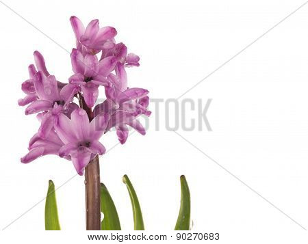 Delicate Hyacinth With Drops Of Dew