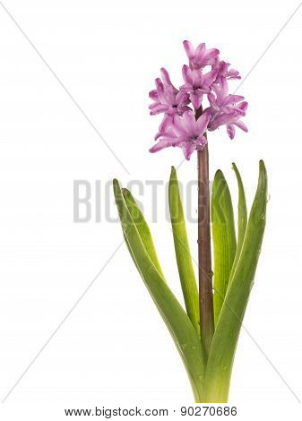 Delicate Pink Hyacinth