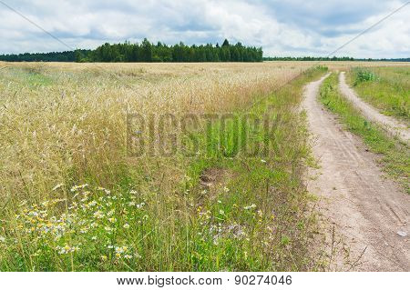 Farm Dirt Road In Cereal Rye Field With Cornflowers And Chamomiles