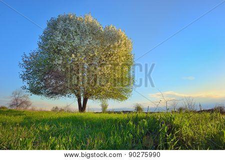 Blooming Tree Spring