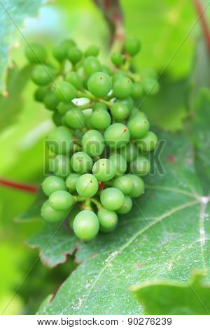 The image of the grapes