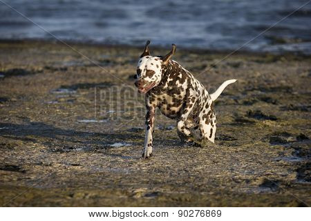 Dalmatian With Brown Spots
