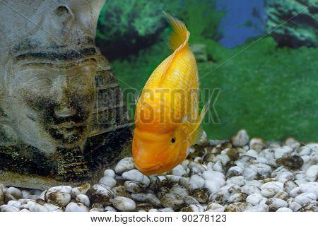 Beautiful Aquarium Fish Amphilophus Citrinellus