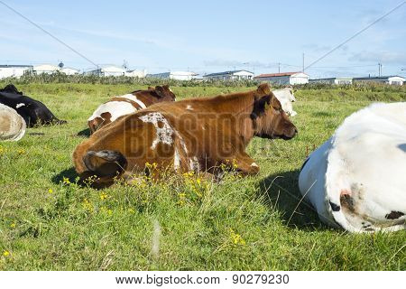 Cattle Resting Next To A Caravan Park