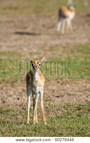 Young Thomson Gazelle