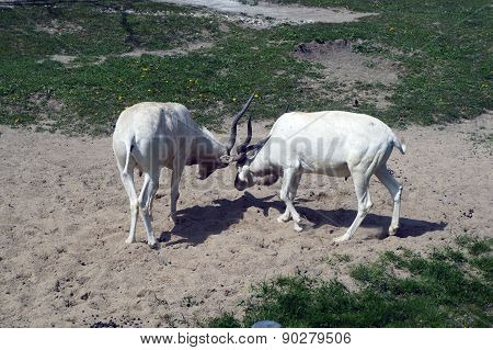 Addax Locking Horns