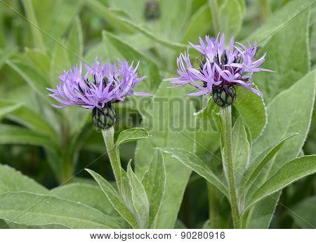 Perenial Cornflower
