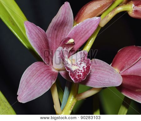 Cymbidium Red Baker Orchid