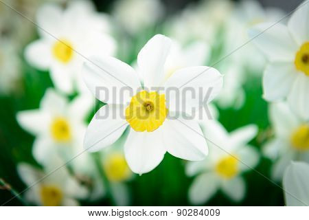 Beautiful White And Yellow Daffodils. Yellow And White Narcissus In A Garden. Soft Focus Or Shallow