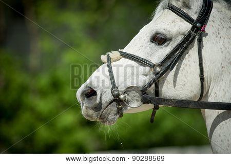 Arabian Racing Horse Head Closeup On Green Leaves Background