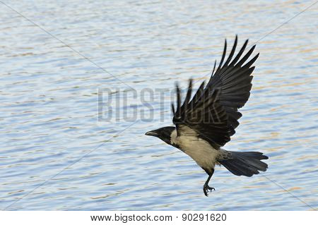 crow flying over the river