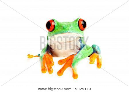 Frosch, Isolated On White für Banner etc.