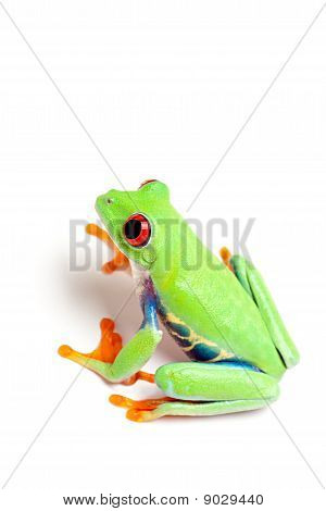 Grüne Frosch, Isolated On White