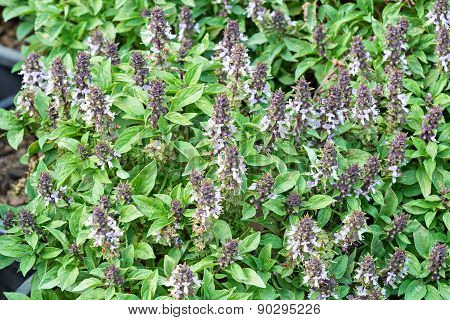 Thai sweet basil, herb good for health