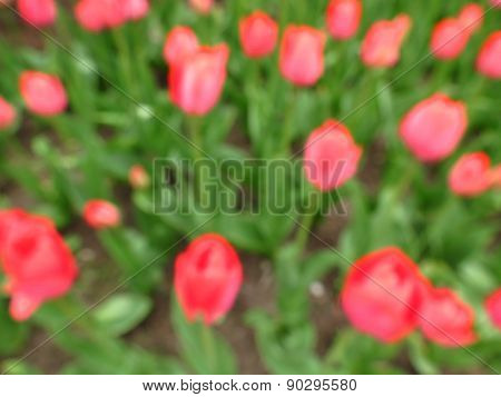 spring background with red tulips