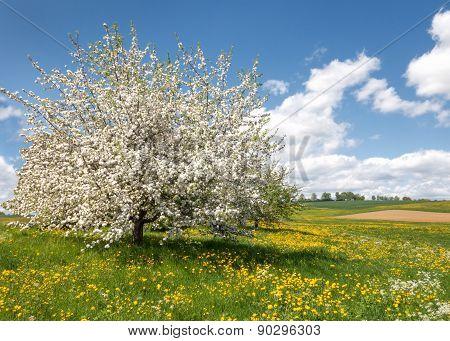Lush blooming apple tree in a flower meadow