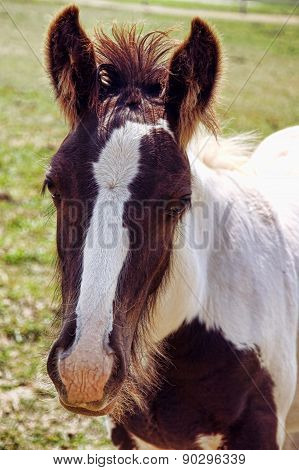 A baby Gypsy Vanner