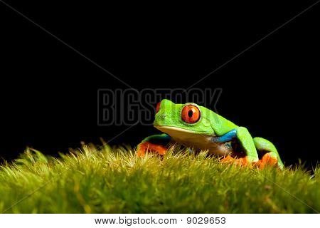 Frog On Moss Isolated Black