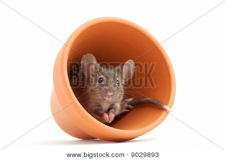 Mouse In Pot Isolated